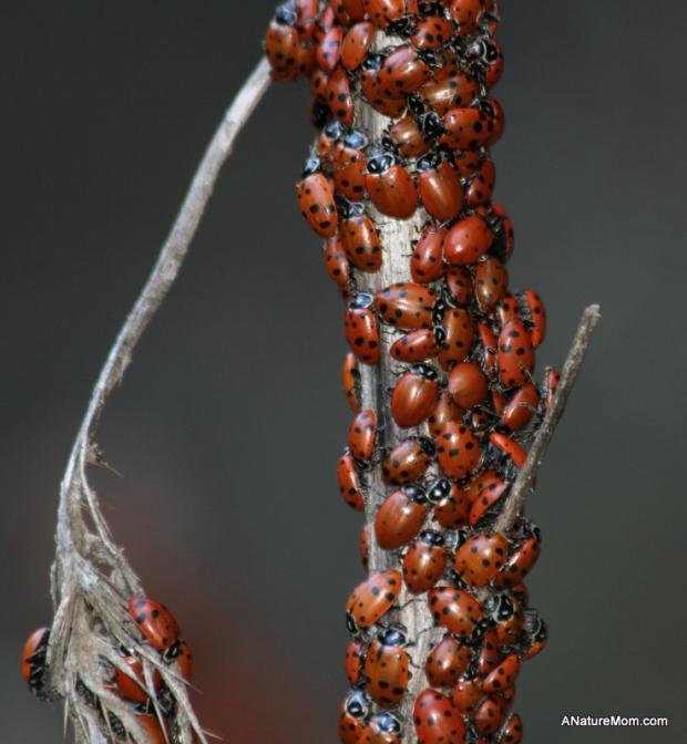 Redwood Ladybugs 009