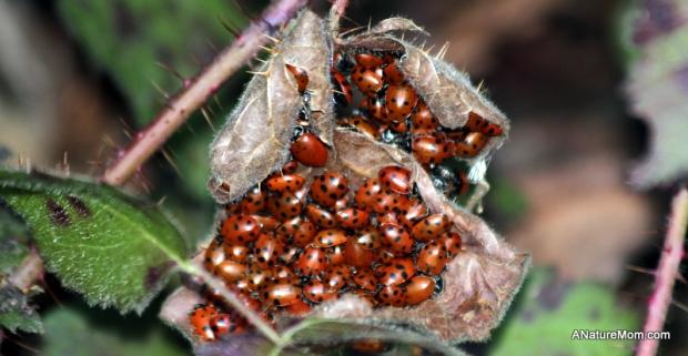 Redwood Ladybugs 010