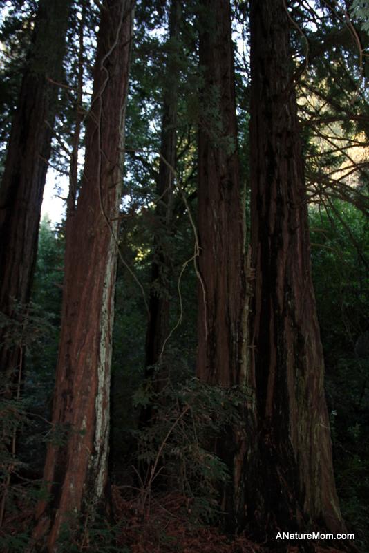 Redwood Regional 007