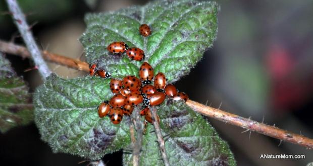 Redwood Ladybugs 012