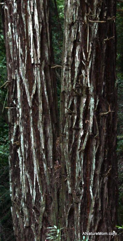 Redwood Ladybugs 025