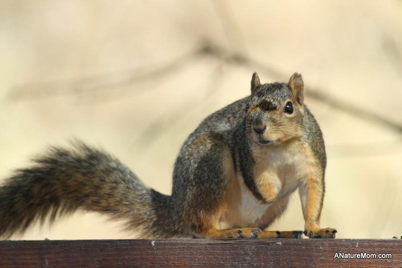 Backyard Squirrel 001