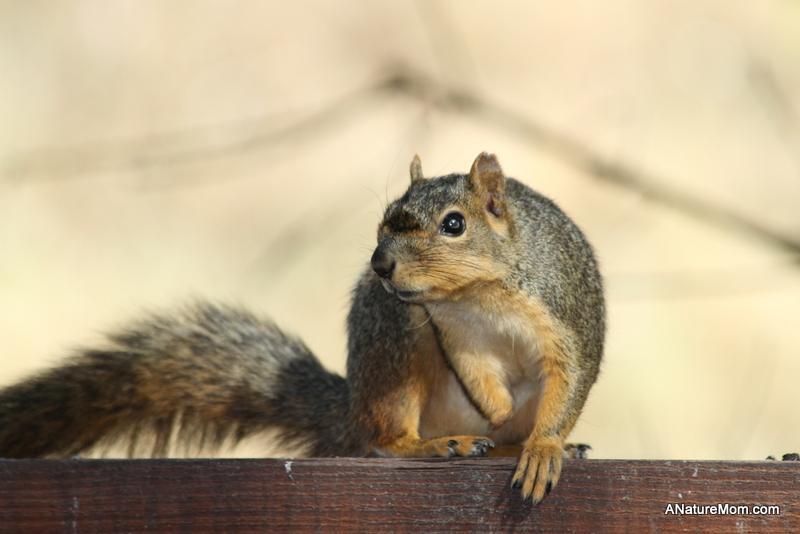 Backyard Squirrel 002
