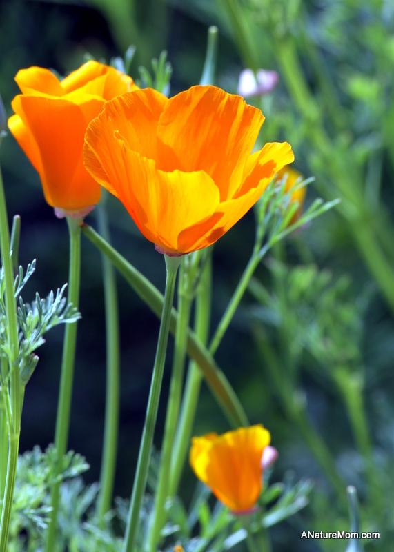 Lake Chabot Flowers 001