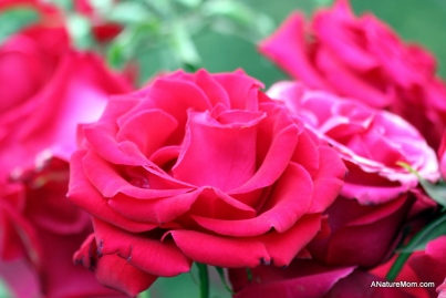 Osage Roses 001