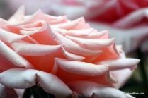 Osage Roses 009