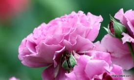 Osage Roses 011