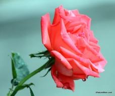 Osage Roses 018