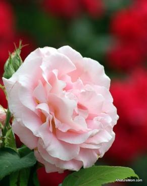 Osage Roses 023