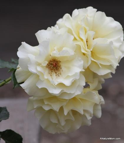 Osage Roses 042