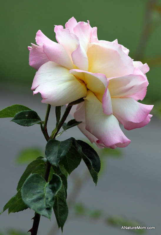 Osage Roses 046
