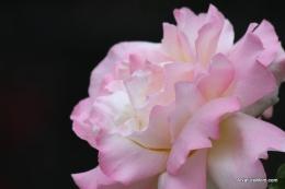 Osage Roses 048