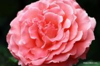 Osage Roses 052