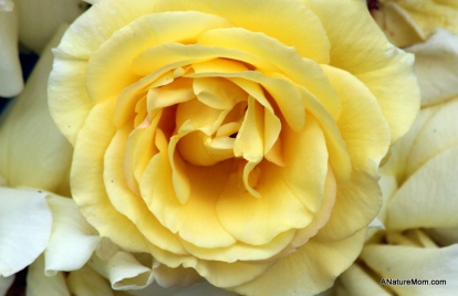 Osage Roses 054