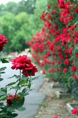 Osage Roses 055