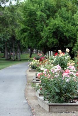 Osage Roses 057